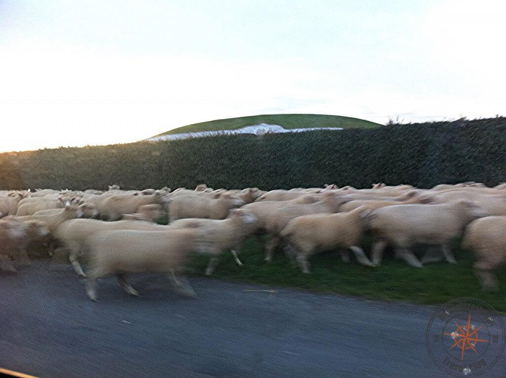 Newgrange und Schafe
