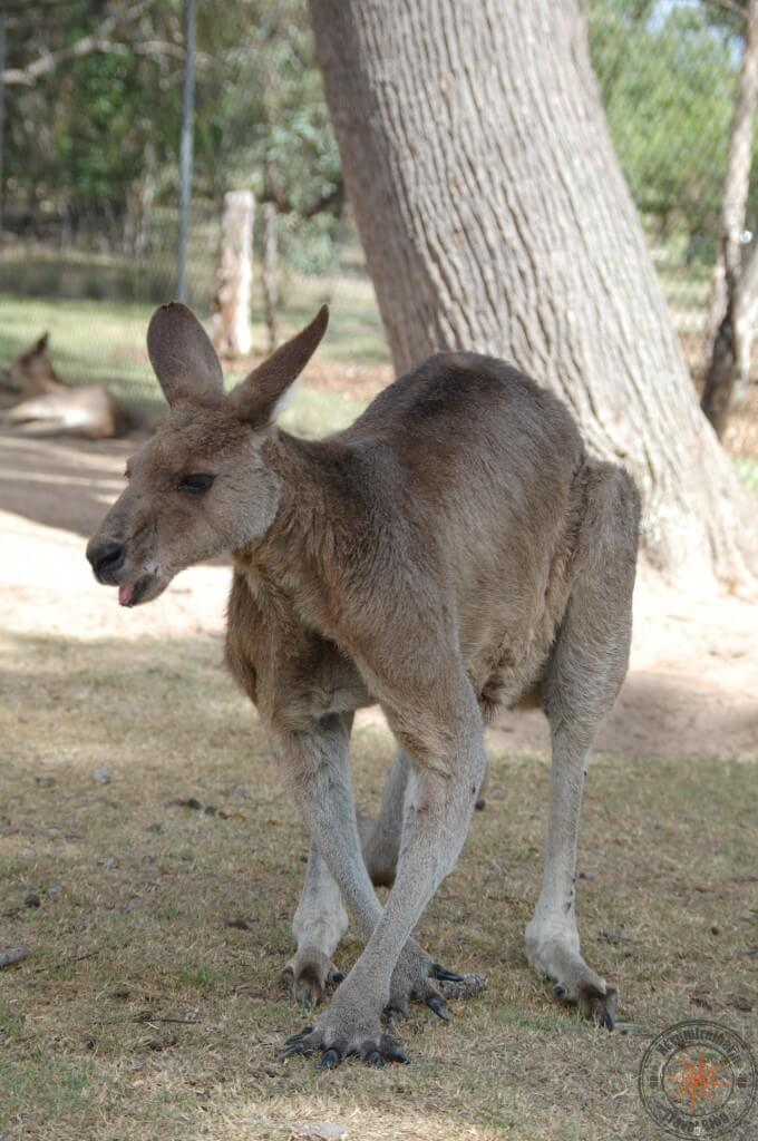 Big kangaroo at Lone Pine Koala Sanctuary