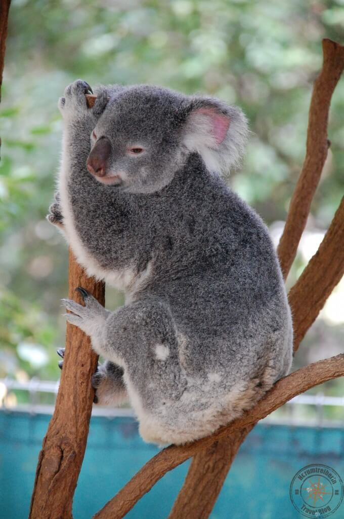 Koala at Lone Pine Koala Sanctuary