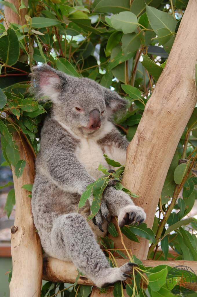 lazy koala at Lone Pine Koala Sanctuary