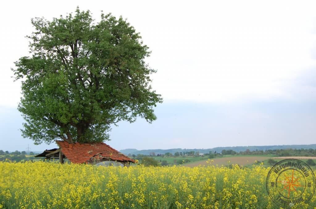 Rapsfeld im Kraichgau