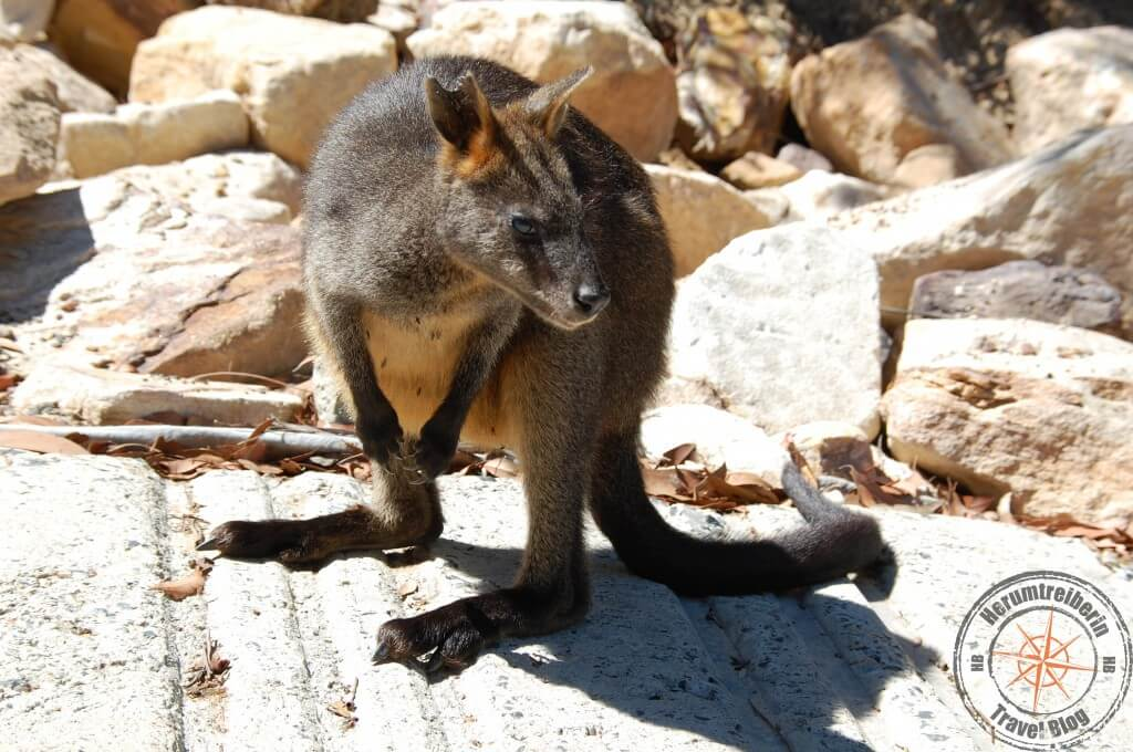Wallaby at Ku-ring-gai-Chase national park