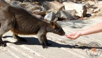 Wallaby at Ku-ring-gai-Chase national park
