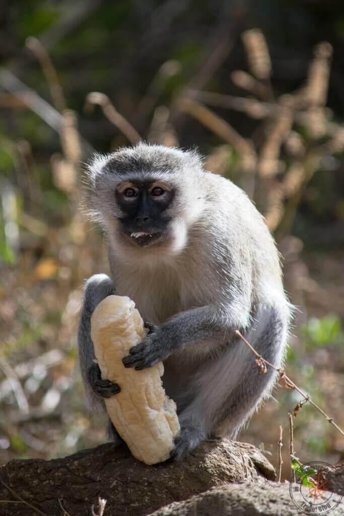 Ithala Game Reserve, Südafrika, Grünmeerkatze