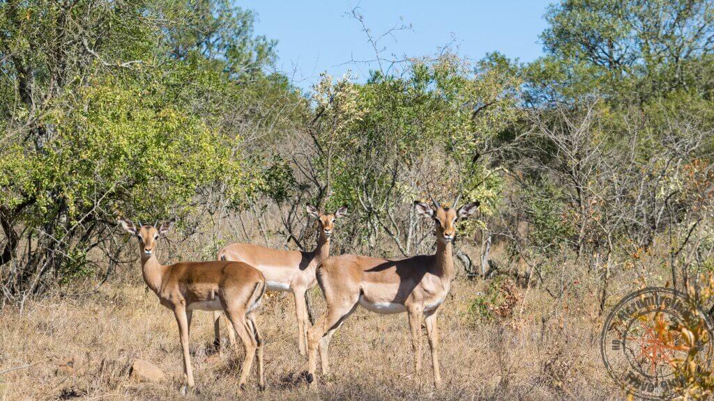 Impala, Ithala Game Reserve, Südafrika